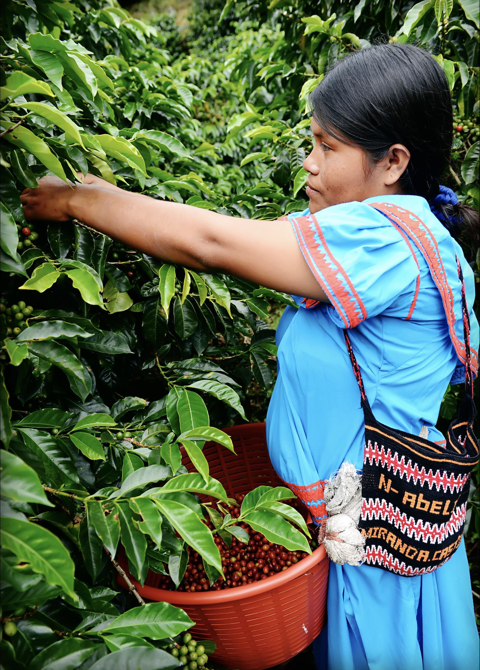 コーヒー農園で作業をするノベ・ブグレ族の少女